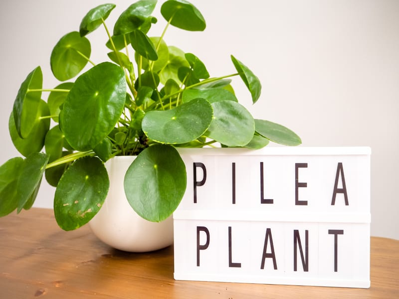 pilea chinese money coin plant