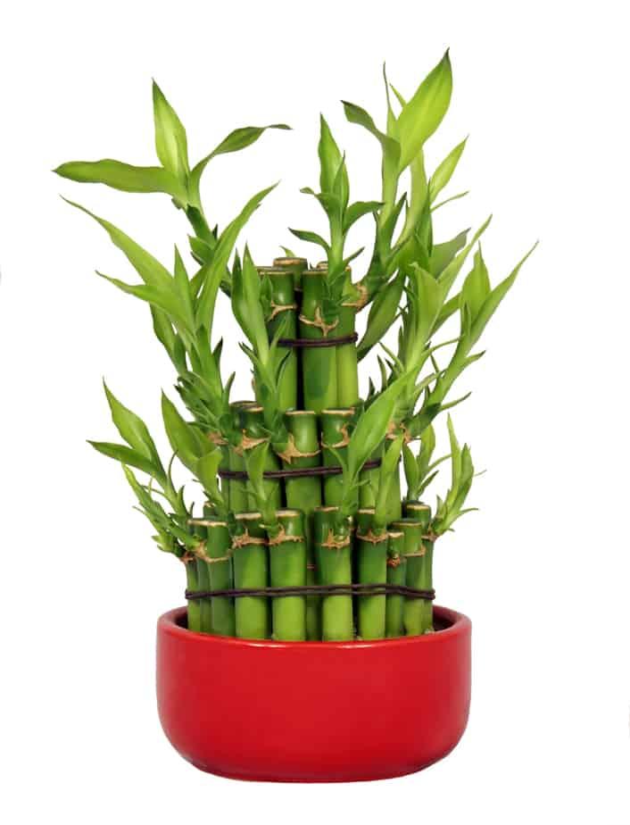 feng shui lucky bamboo for money