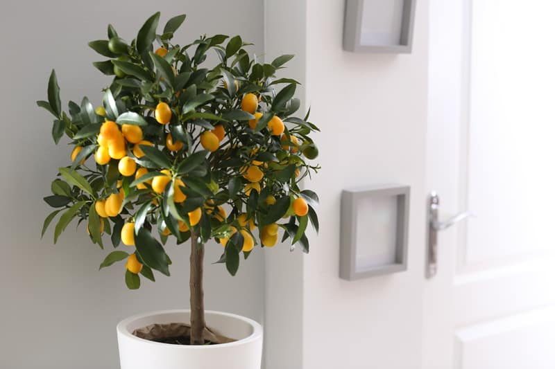 citrus trees for wealth