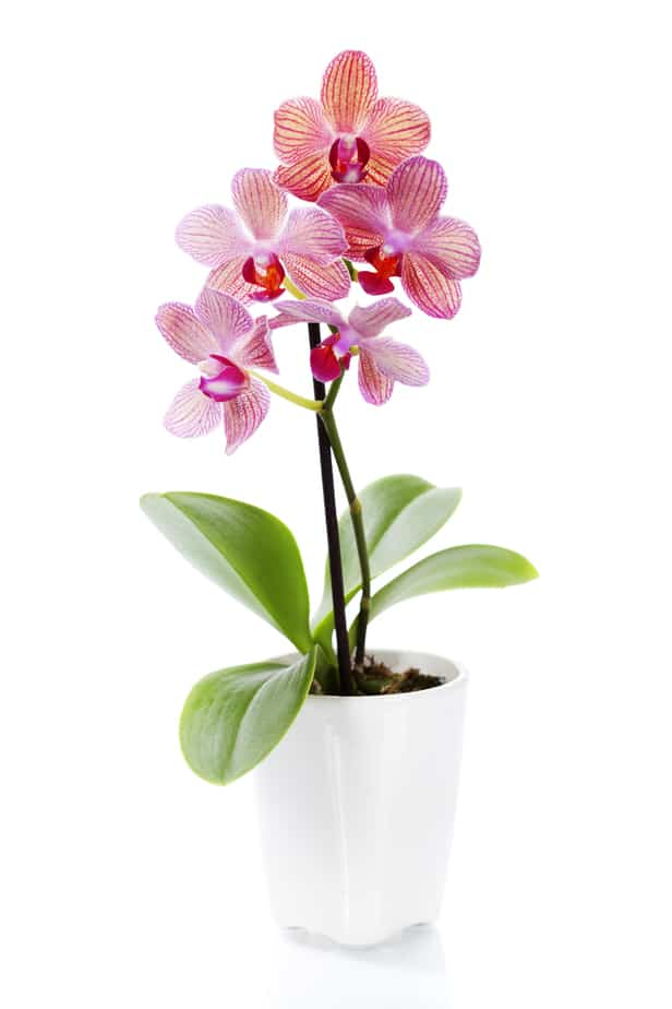 orchid good luck money plant