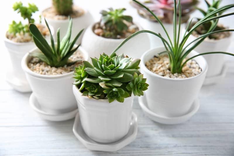 succulents for money